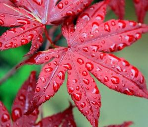 Acer Crimson king 3ª [640x480]